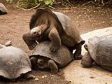 Galapagos Tortoises Mating