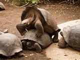 Galapagos Tortoises Mating