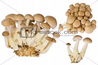 Beech Mushrooms (hupsizygus tessellatus)