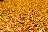yellow maple leaves background