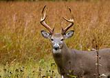 Buck Whitetail Deer (Odocoileus virginianus)