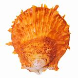 Orange Spiny Oyster