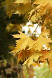 autumn maple branch with yellow leaves