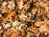 autumn yellow gold leaves