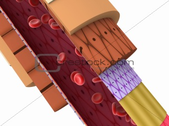 shematic arterio