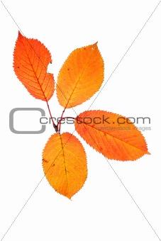 Four autumn leaves
