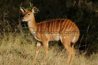 Nyala antelope