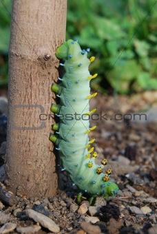 Caterpillar Colors