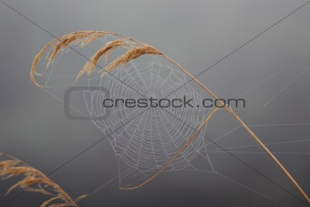 Autumnal gossamer on the reed