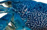 Close-up of Blue crayfish also known as a Blue Florida Crayfish, Procambarus alleni, in front of white background