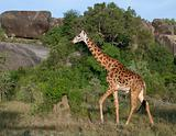 Giraffe at the Serengeti National Park, Tanzania, Africa
