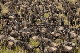Herd of Wildebeest at the Serengeti National Park, Tanzania, Africa