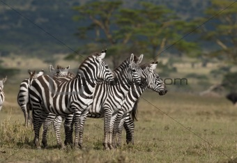 Small group of Zebras at the Serengeti National Park, Tanzania, Africa