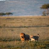 Lion and Lioness at the Serengeti National Park, Tanzania, Africa