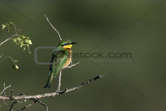 Cinnamon-chested bee-eater, Merops oreobates, at the Serengeti National Park, Tanzania, Africa