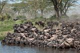 Herds of wildebeest at the Serengeti National Park, Tanzania, Africa