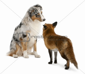 Red Fox, Vulpes vulpes, 4 years old, playing with Australian Shepherd dog in front of white background