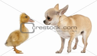 Chihuahua playing with a domestic duckling in front of white background