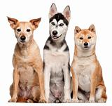 Mixed breed dog, 9 years old, Shiba Inu, 2 years old, and Siberian Husky puppy, 4 months old, sitting in front of white background