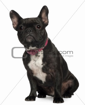 French Bulldog, 30 months old, sitting in front of white background