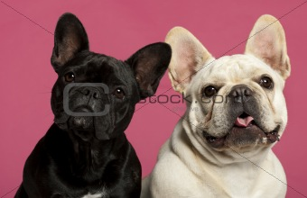 French Bulldogs, 2 years old, in front of pink background