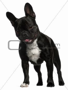 French Bulldog, 2 years old, standing in front of white background