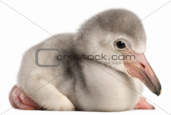 Greater Flamingo, Phoenicopterus roseus, 4 days old, in front of white background