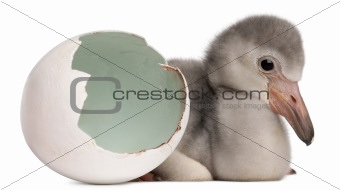 Greater Flamingo with hatched egg, Phoenicopterus roseus, 4 days old, in frong of white background