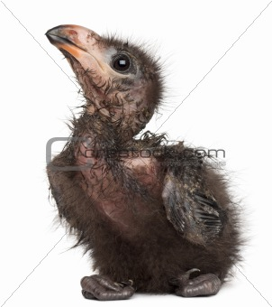 Fischer's Turaco, Tauraco fischeri, 1 week old, in front of white background
