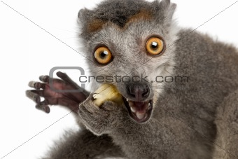 Close-up of Crowned lemur, Eulemur coronatus, 2 years old, in front of white background