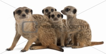 Meerkat or Suricate, Suricata suricatta, mother and her babies, in front of white background