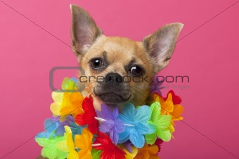 Close-up of Chihuahua wearing colorful lei, 12 months old, in front of pink background