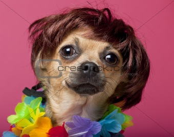 Close-up of Chihuahua wearing wig and colorful lei, 12 months old, in front of pink background
