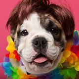 Close-up of English Bulldog puppy wearing a wig and colorful lei, 11 weeks old, in front of pink background