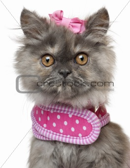Close-up of Persian kitten dressed in pink