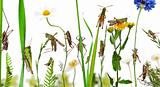 Rural composition of Locust and grasshopper on flowers, grass and other plants in front of white background