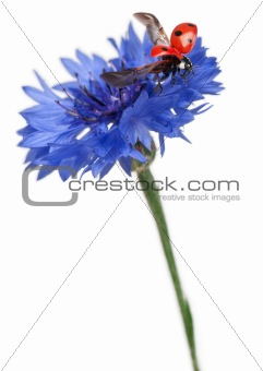Seven-spot ladybird or seven-spot ladybug on Cornflower, Coccinella septempunctata, in front of white background