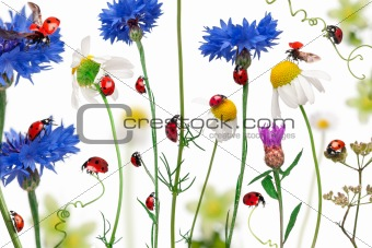 Seven-spot ladybird or seven-spot ladybugs on daisies, cornflowers and plants, Coccinella septempunctata, in front of white background