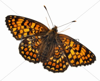 Knapweed Fritillary, Melitaea phoebe, in front of white background