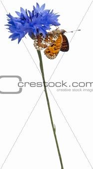 Knapweed Fritillary, Melitaea phoebe, on cornflower in front of white background
