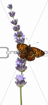 Knapweed Fritillary, Melitaea phoebe, on lavender flower in front of white background