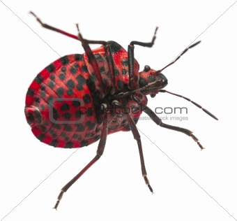 Shield bug, Graphosoma lineatum, in front of white background