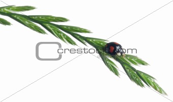 Asian lady beetle, or Japanese ladybug or the Harlequin ladybird, Harmonia axyridis, on plant in front of white background