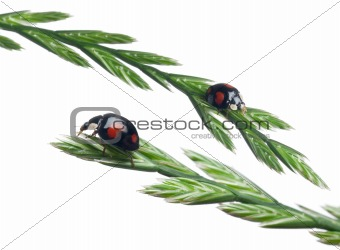 Asian lady beetles, or Japanese ladybug or the Harlequin ladybird, Harmonia axyridis, on plant in front of white background