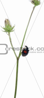 Asian lady beetle, or Japanese ladybug or the Harlequin ladybird, Harmonia axyridis, on plant in front of white background
