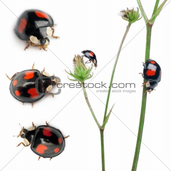 Asian lady beetles, or Japanese ladybug or the Harlequin ladybird, Harmonia axyridis, composition on plants in front of white background