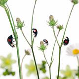 Asian lady beetles, or Japanese ladybug or the Harlequin ladybird, Harmonia axyridis, on plants in front of white background