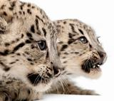 Snow leopards, Uncia uncia or Panthera uncial, 2 months old, in front of white background