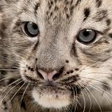 Snow leopard, Uncia uncia or Panthera uncial, 2 months old, close up