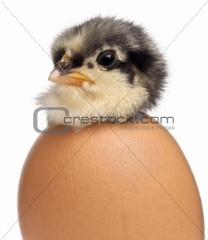 Chick, Gallus gallus domesticus, 3 days old, in egg in front of white background